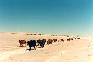 Beefmasters in Russia